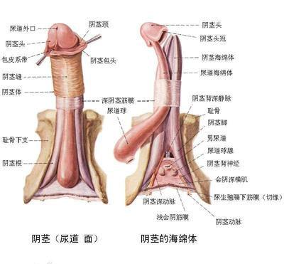 详解女性阴蒂阴道口的位置(高清图)